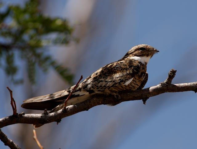Common_Nighthawk1