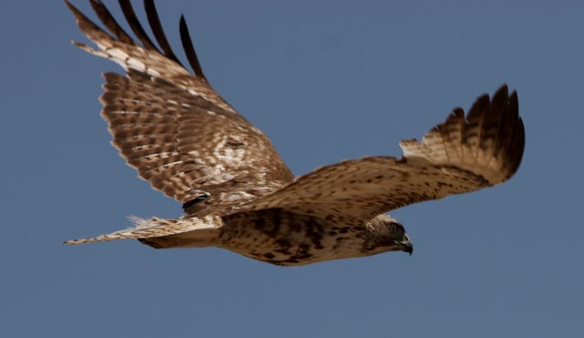 Juvenile_Red_tailed_Hawk