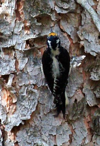 American three-toed woodpecker c Rise-001
