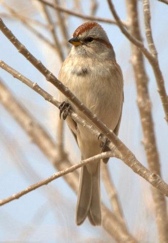 American Tree Sparrow_E ElPasoCo-CO_LAH_2047