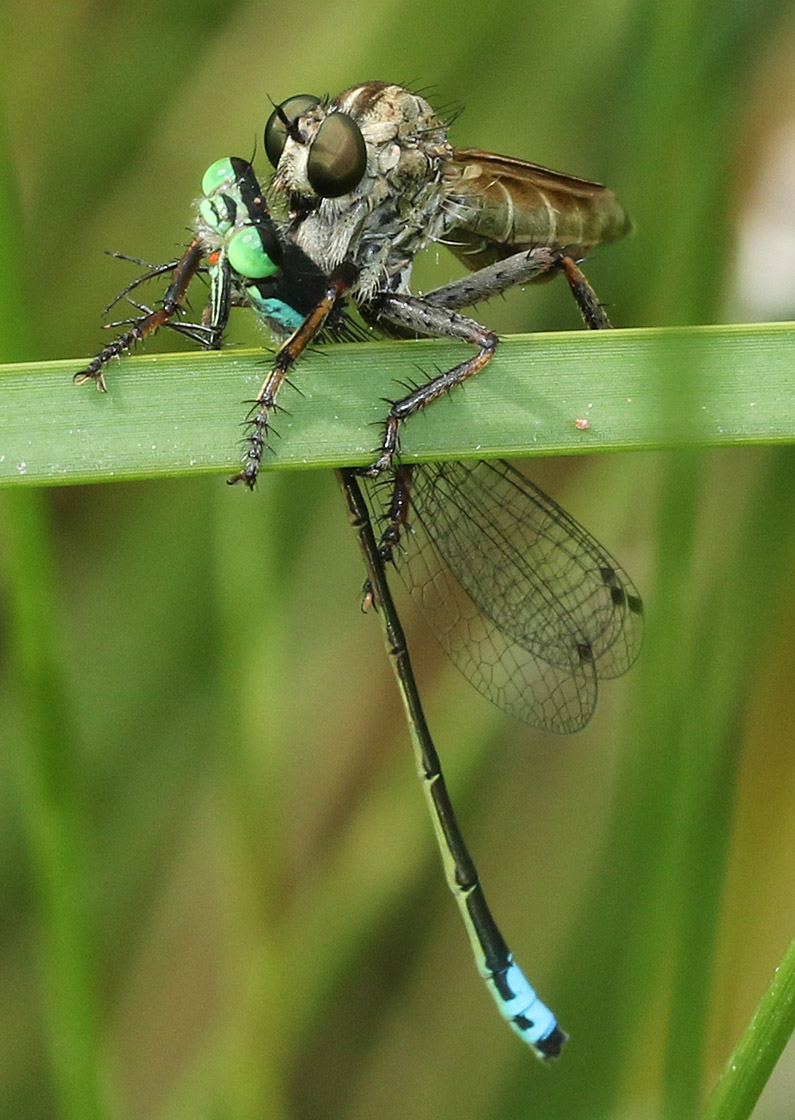 Fish eat dragonflies, birds eat dragonflies, spiders eat dragonflies, dragonflies eat dragonflies, and here a robber fly sucking the body fluids from the damselfly, Plains Forktail.